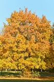 Tree in autumn Royalty Free Stock Images
