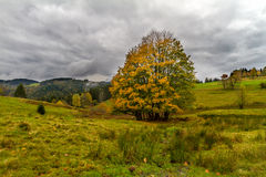 Tree at autumn in Black Forest, Germany Stock Photo