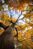 Tree in autumn colors Royalty Free Stock Images