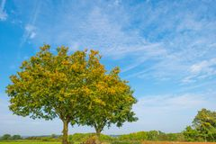 Tree in autumn colors in a meadow in sunlight at fall Royalty Free Stock Photo