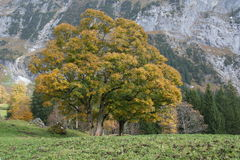 Tree with autumn colors with mountains as backgrou Royalty Free Stock Photos