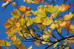 Tree in autumn colours Royalty Free Stock Photo