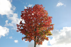 Tree in autumn colours Stock Photos