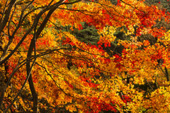 Tree in autumn colours. In Mudeungsan National Park Stock Images