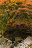 Tree in autumn colours Royalty Free Stock Photos