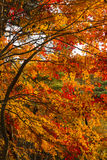 Tree in autumn colours Royalty Free Stock Images
