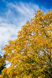 Tree in autumn or fall Royalty Free Stock Photo