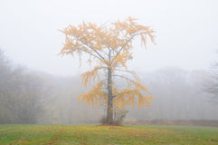 Tree in Autumn Fog Royalty Free Stock Image