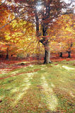 Tree in autumn forest Stock Photography