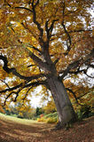 Tree in Autumn Royalty Free Stock Image