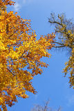 Tree autumn leafs Royalty Free Stock Images