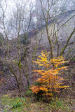 Tree with autumn leaves in the quarry at Bromberg Stock Image