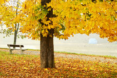 Tree in autumn. Litlle bench below tree in the park Stock Photos