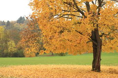 Tree in autumn Stock Photos
