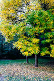 A tree during the autumn months. With yellow and green leaves royalty free stock photo
