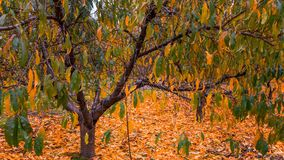 Tree in Autumn. Orchard Trees in colorful autumn with leaves on the ground royalty free stock images