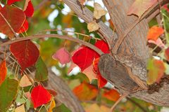 Tree in autumn, red leaves stock image