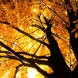 Tree in autumn sunlight Stock Photos