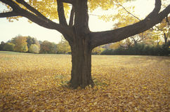 Tree in Autumn Surrounded by Leaves, New Jersey Stock Photography
