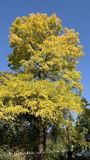 Autumn tree with text space. Fall nature, colors yellow and blue Stock Photos