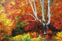 Tree in autumn with vivid colors Royalty Free Stock Photography