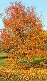 Tree in an autumn. Stock Photo