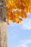 Tree in autumnal colors Royalty Free Stock Images
