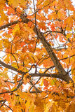 Tree in autumnal colors Royalty Free Stock Photography