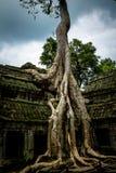 Tree av Ta Prohm, Angkor Wat Arkivfoto