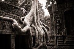 Tree av Ta Prohm, Angkor Wat Fotografering för Bildbyråer