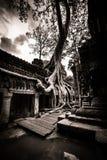 Tree av Ta Prohm, Angkor Wat Arkivbilder