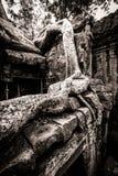 Tree av Ta Prohm, Angkor Wat Royaltyfri Fotografi