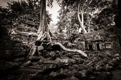 Tree av Ta Prohm, Angkor Wat Arkivbild