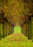 Tree Avenue. Looking through and down an avenue of autumn Beech trees Royalty Free Stock Image
