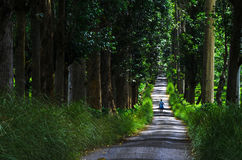 Tree Avenue. Central, Sri Lanka, Indian Sub-Continent, Asia royalty free stock photography