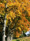 Tree avenue in great autumn colors stock photos