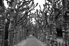 Tree avenue. With old plane trees in black and white stock photography