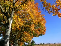 Avenue with trees in great fall colors and blue sky. Tree avenue, woody plants, autumn impressions, colorful autumn leaves, beautiful nature, Golden yellow stock photography