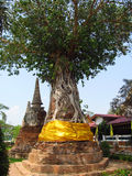 A tree in Ayutthaya ancient city Royalty Free Stock Photos