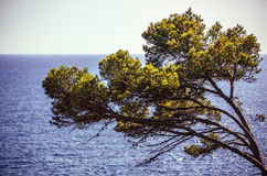Tree and azure sea water, Menorca, Balearic Islands, Spain Royalty Free Stock Image