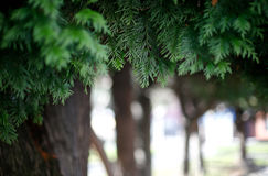 Tree background. Tree leaves with a unfocused background Royalty Free Stock Images