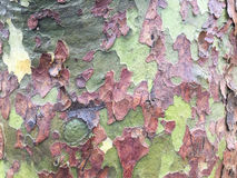Tree background. Plane tree background, plane tree texture, camouflage background, camouflage texture Stock Images