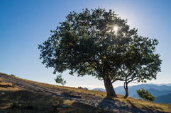 Tree in backlight Royalty Free Stock Photo