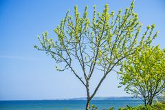 Tree at the Baltic Sea Royalty Free Stock Image