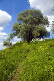 Tree on the bank and a road at green meadow. Tree on the steep bank of river Oka in Russia and a road at green meadow and yellow flowers in summer day Royalty Free Stock Photo