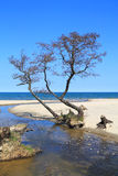 Tree on the bank of the stream. Which flows into the Baltic Sea Royalty Free Stock Photo
