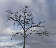 Tree. Bare tree against a cloudy sky Royalty Free Stock Photography