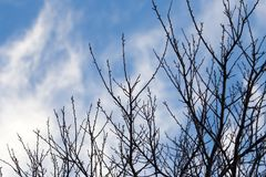 Tree with bare branches against the sky.  Royalty Free Stock Photos