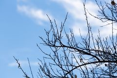 Tree with bare branches against the sky.  Royalty Free Stock Photo