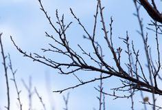Tree with bare branches against the sky.  Royalty Free Stock Image